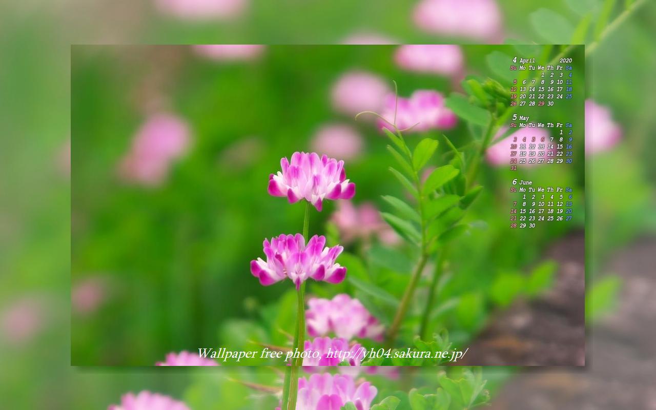 春の田んぼを彩るレンゲソウ 年4月 5月 6月のカレンダー付き 高画質 1280 800 デスクトップ無料壁紙 です